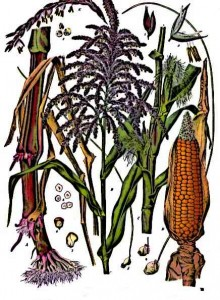 Aztec-Farming-Maize